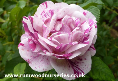 Roses Suitable for Hedging